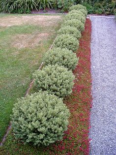 Acaena 'mulch' and Hebe Outdoor, Plants, Garden Decor, Planting Flowers, Mulch, Lawn, Front Yard Landscaping, Garden, Backyard