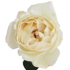 Buy stunning garden roses at FiftyFlowers.com! The Creamy Ivory Peony Rose is a perfect blend of creamy white with butter tones and faint hints of pale pink. Opening into a stunning bloom, this garden rose would look captivating in a bouquet of contrasting dark reds. Offered in packs of 24, 36, 72,...