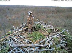 Balbufête à Mardié (Loiret) le 23/04/2016 | Photo : Balbuzard pêcheur (Pandion haliaetus) sur son aire à Mardié (Loiret) le 21/03/2016 - Image transmise par la caméra installée près de l'aire (source : Balbucam.fr).