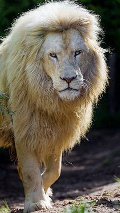 Male White #Lion ✿⊱╮                                                                                                                                                                                 More