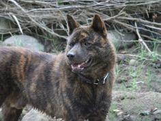 犬のブリーダー 伊藤健一ブリーダー 大分県 成(親犬)一覧ページ
