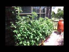 Tomatoes in Hybrid Rain Gutter Grow System Update Self Watering, Growing Tomatoes, Rain, Plants, Gardening, Facebook, Youtube, Paths, Rain Fall