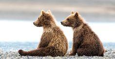 Мама-медведица защитила медвежат от незваного гостя « FotoRelax