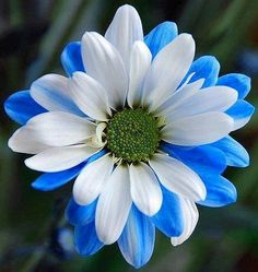 Blue and white daisy image via Colorfull at www.Facebook.com/colorfullss