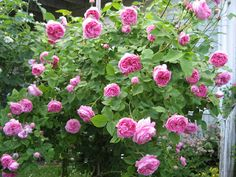 Centifola Rose - Louise Odier (Bourbon) 1851. Vigorous, good cut flower, intense sweet fragrance, and makes a good hedge. To 6 ft by 4 ft.  Zones 5-9.