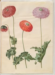 The National Gallery of Denmark has been restoring the paintings from Gottorfer Codex for two years and has now finished the first book, which can be seen here. Botanical Illustration, Botanical Prints, Illustration Art, Painted Books, Vintage Artwork, Illustrations, Restoration, Drawings, Floral