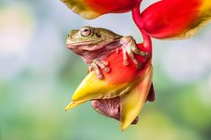 "Vote Photo ""HANGINGFROG"" by lessysebastian"