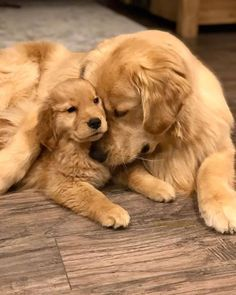 Cute Dogs And Puppies, Baby Dogs, Pet Dogs, Dog Cat, Doggies, Corgi Puppies, Weiner Dogs, Retriever Puppy, Dogs Golden Retriever