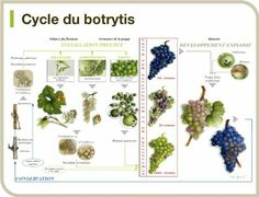 Ciclo de la botritis Wine Facts, Wine Poster, Wine Vineyards, Wine Education, Vides, Wine Guide, Sweet Wine, Vitis Vinifera, Mulled Wine