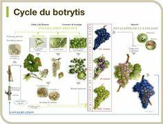 Ciclo de la botritis