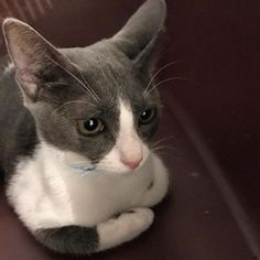 Meet Lucia! Our Hurricane Maria evacuee from Puerto Rico just arrived and is hoping to find a forever home through Brooklyn Cat Cafe.  #catcafebk #adoptdontshop #adoptus #adopt #kittens #cats #rescue #cutecatcrew #adoptdontshop #hurricanemaria #dailyfluff #catsofnyc #catsofinstagram #nyc #brooklyn #BBAWC