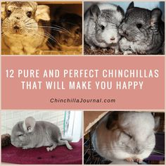 12 Pure And Perfect Chinchillas That Will Make You Happy