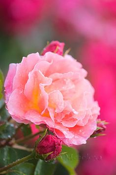 David Austin Rose 'Lilian Austin'  by Maria Mosolova Photography