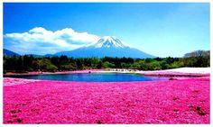 El parque Higashimokoto En 1956, alguien sembró en este lugar el contenido de una caja llena de semillas de una flor llamada Shibazakura. Fue así como nació este hermoso parque japonés, en el que millares de flores rosáceas florecen cada verano, cubriendo el paisaje por completo. Además, quienes lo han visitado aseguran que su dulce olor es el complemento perfecto para el maravilloso espectáculo visual.