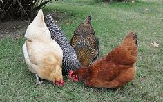 Heritage Chickens: Buff Orpington, Barred Rock, Gold Laced Wyandotte, Rhode Island Red