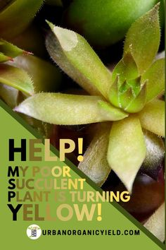 Succulent plants are one of the easiest plants to take care of because they are such low maintenance.  However, you do on occasion run into issues.  One of these issues is when your succulent plant leaves turn yellow.  Here we discuss why your succulent plant leaves turn yellow and how to resolve the issue.    #succulents  #gardening