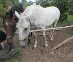 Bílý a hnědý kůň