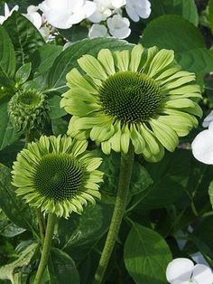 "Coneflower 'Green Jewel' | Bright green petals with a sweet fragrance, 20-24"", midsummer bloom, z3-9, full sun/part-sun, deer resistant"