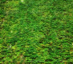 ivy green wall - Stock Photo - Images
