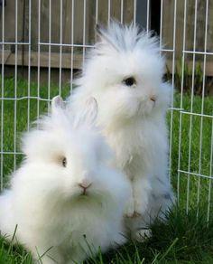 Lionhead rabbits More