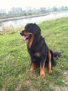 Hovawart Rasmus, Hund von Maike   Pawshake