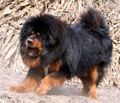 Tibetan Mastiff aka Go-khyi or Door Guard. It is an ancient dog breed Owned by King George IV and encountered by Marco Polo