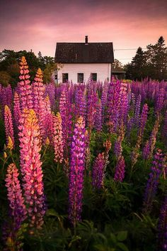 love lupines ~~ Lupine Cottage, Tremont, Maine photo via escapism Beautiful World, Beautiful Gardens, Beautiful Flowers, Beautiful Places, Beautiful Pictures, Nature Pictures, Tout Rose, All Nature, Amazing Nature