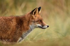 Portrait of a fox by DirkVanGeel #animals #animal #pet #pets #animales #animallovers #photooftheday #amazing #picoftheday