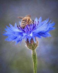 Honey Bee~it is said that honeybees love blue flowers the most. I adore blue flowers-though they are less common in the flower kingdom than other hues. I Love Bees, Birds And The Bees, Bees And Wasps, Save The Bees, Bee Happy, Busy Bee, Love Blue, Bees Knees, Queen Bees