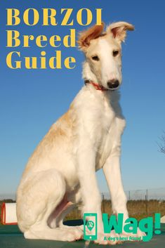 Click to read everything you need to know about Borzois! Whether you have a Borzoi dog or you're thinking of getting a new puppy, this guide has everything you need to know! #borzoi #dogbreeds #popular #russianwolfhound #longhairedgreyhound Russian Wolfhound, Group Of Dogs, Popular Dog Breeds, Dog List, Greyhounds, New Puppy, Dog Walking, Writing Prompts