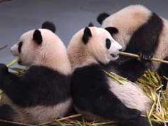 Live Panda Cam | Chengdu Giant Panda Reserve in China