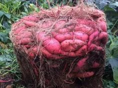 Garden Design Rustic How to Grow a Massive Sweet Potato Harvest With DIY Containers - Gardening Channel.Garden Design Rustic How to Grow a Massive Sweet Potato Harvest With DIY Containers - Gardening Channel Garden Types, Do It Yourself Garten, Potato Gardening, Container Gardening Vegetables, Garden Container, Succulent Containers, Container Flowers, Growing Sweet Potatoes, Grow Potatoes
