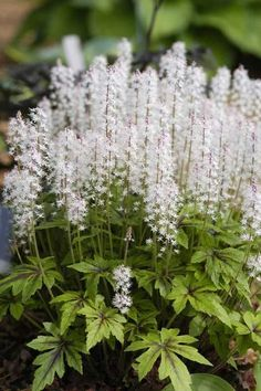 vita rabatt One of our favorite shade perennials is now blooming! Tiarella has unique foliage and looks stunning while in bloom! One of our favorite shade perennials is now blooming! Tiarella has unique foliage and looks stunning while in bloom! Shade Perennials, Flowers Perennials, Shade Plants, Planting Flowers, Full Shade Flowers, White Flowers, Beautiful Flowers, Garden Shrubs, Shade Garden