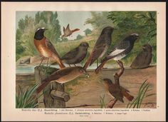 1880 - Hausrötling Rötling Vögel Vogel bird birds Farblithographie Naumann   eBay