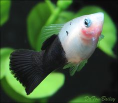 Platy for Sale - AquariumFish.net