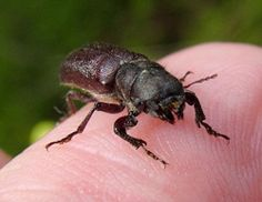 Powder post beetles are wood boring insects that reduce wood into a fine flour like powder.