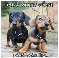 Cute Doxie Love meme! Tweet, pin, and posting things you love @AnimalBehaviorC