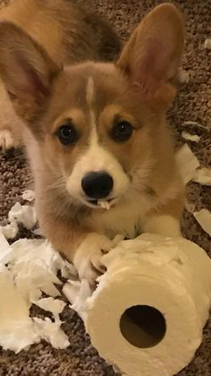 Find Out More On Fun Corgis Health corgi funny Pembroke Welsh Corgi Puppies, Corgi Dog, Dog Cat, Baby Corgi, Cute Corgi, Cute Puppies, Cute Baby Animals, Funny Animals, Funny Pets