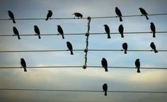 Birds on Wires!  The Musical Animal Video of the Day!!!  ... from PetsLady.com ... The FUN site for Animal Lovers