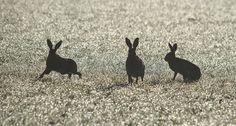 brown hares / Richard Ives