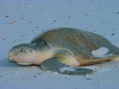 Official State Sea Turtle of Texas: Kemp's Ridley Sea Turtle. Designated by HCR 31, 83rd R.S. (2013) authored by Rep. Craig Eiland and sponsored by Sen. Larry Taylor. [Image by flickr user USFWS] Read the resolution at: http://www.legis.state.tx.us/tlodocs/83R/billtext/pdf/HC00031F.pdf#navpanes=0