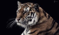 Tiger-Portrait by Fotostyle_Schindler on 500px