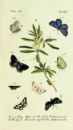 Illustrations of Lepidoptera taken from 'Beiträge zur Geschichte der Schmetterlinge' by Jacob Hübner. Published 1786