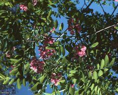 Locust (Robinia x ambigua 'Idahoensis')