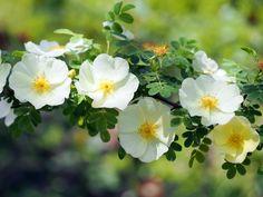 Rosier pimprenelle, Rosa pimpinellifolia : conseils de culture