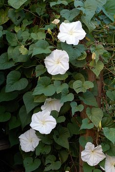 Moonflowers.  A favorite of moths, they bloom at night.  They're quite poisonous too.  previous pinner:Moonflower Vine by marc50, via Flickr