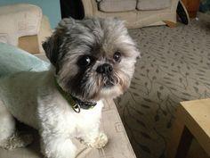 ... Cute Shih Tzu Puppy