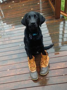 Mind Blowing Facts About Labrador Retrievers And Ideas. Amazing Facts About Labrador Retrievers And Ideas. Labrador Golden, Black Labrador Retriever, Golden Retriever, Retriever Puppy, Labrador Retrievers, Labrador Puppies, Golden Puppy, Corgi Puppies, Black Lab Puppies