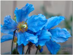 more himalayan blue poppies