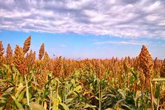 Grain and Sweet Sorghum vulgare | Mary Norwood Mother Earth News Sept/Oct 1975